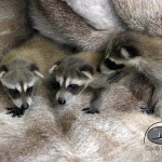 Buffalo Exchange Coats for Cubs raccoon babies.