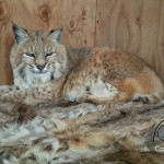 Coats for Cubs bobcat with donated fur.