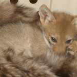 Coyote cuddling with donated fur.