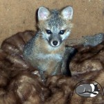 Buffalo Exchange Coats for Cubs gray fox.