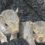 Coats for Cubs baby squirrels with donated furs.