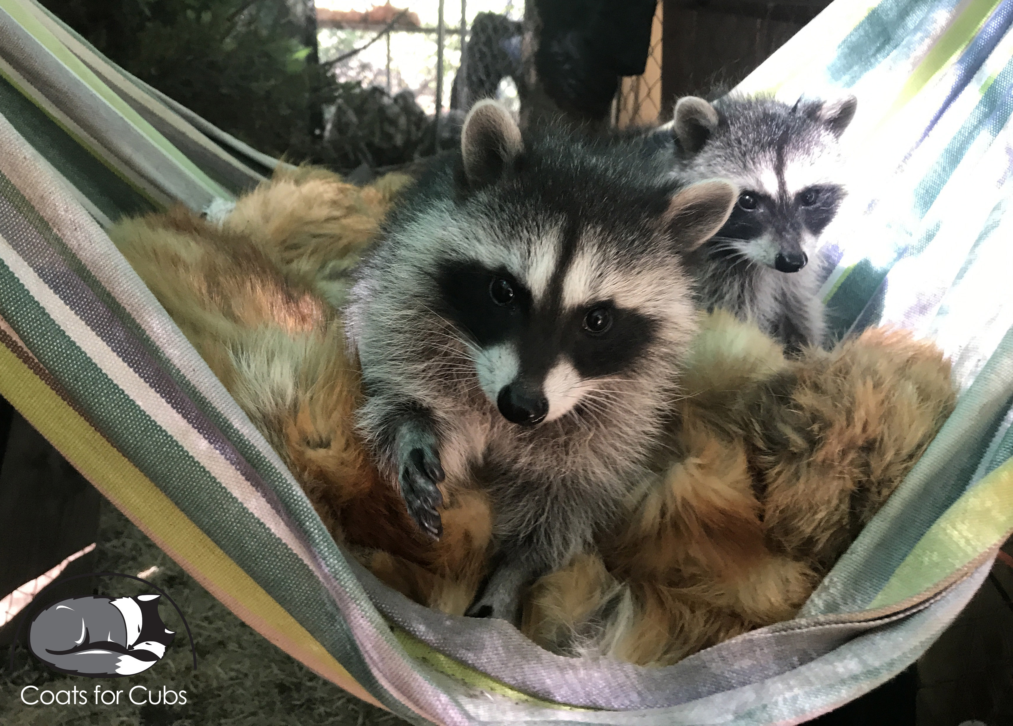 Two raccoons cuddling with donated furs.