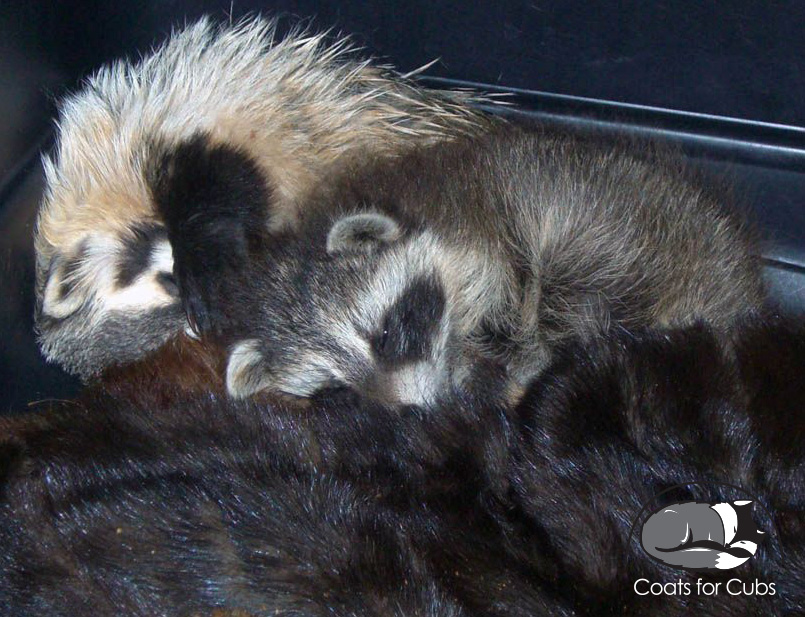 Raccoon and badger snuggling with donated furs.