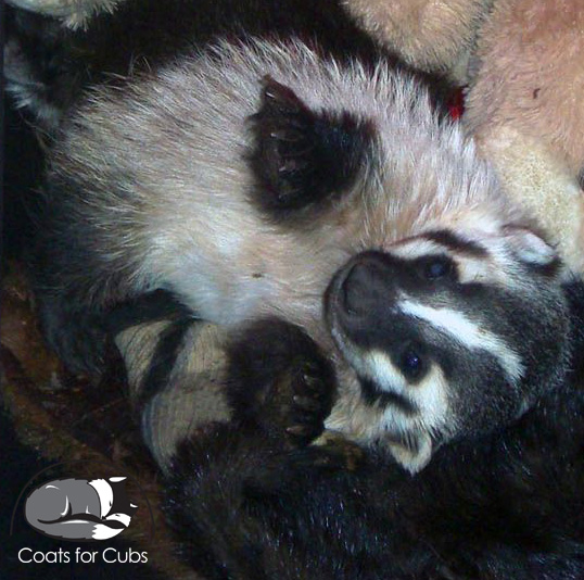 Badger cuddling with donated furs.